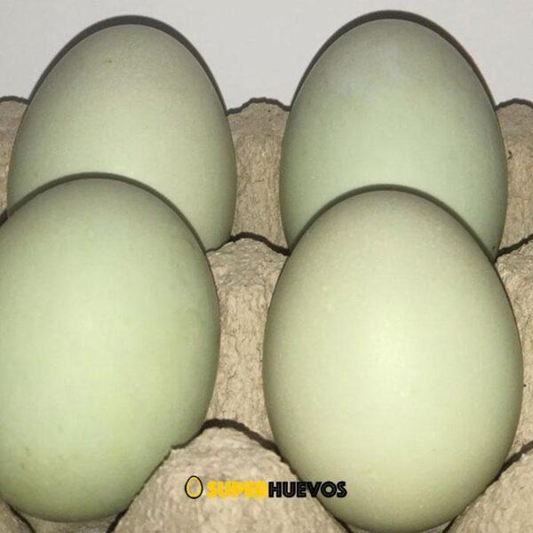 huevos verdes pato orpington