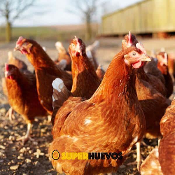 gallinas camperas huevos trufados