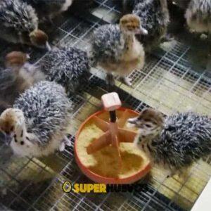 venta avestruces